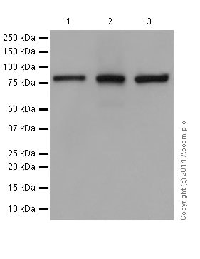 Western blot - Anti-KRIT1 antibody [EPR16560] (ab196025)