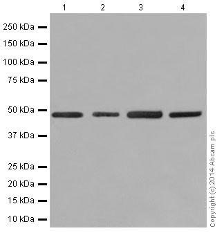 Western blot - Anti-Reptin/TIP49B/RUVB2 antibody [EP4145(2)] (ab196027)