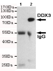 Immunoprecipitation - Anti-DDX3 antibody [6G8-F4-E3] (ab196032)