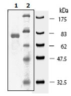 SDS-PAGE - Recombinant human JNK3 protein (ab196055)