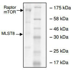 SDS-PAGE - Recombinant human mTOR + MLST8 + Raptor protein (ab196074)