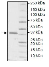 SDS-PAGE - Recombinant Human DNA Polymerase beta protein (ab196082)