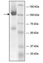 SDS-PAGE - Recombinant human FES protein (ab196084)