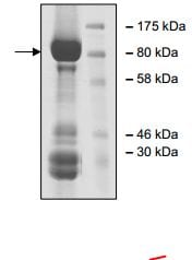 SDS-PAGE - Recombinant human TrkC protein (ab196087)