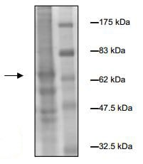 SDS-PAGE - Recombinant human CERK protein (ab196089)