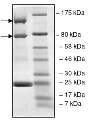 SDS-PAGE - Recombinant human PI 3 Kinase p110 alpha + PI 3 kinase p85 alpha protein (ab196098)