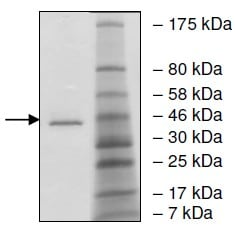SDS-PAGE - Recombinant human BRD9 protein (Active) (ab196105)