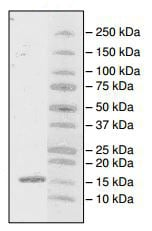SDS-PAGE - Recombinant Human PHIP protein (ab196110)