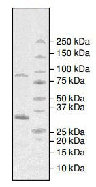 SDS-PAGE - Recombinant human ABL1 protein (ab196111)