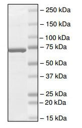 SDS-PAGE - Recombinant human BRD3 protein (ab196112)