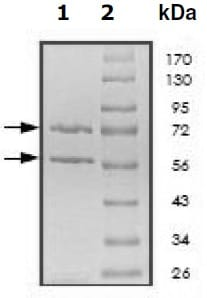 SDS-PAGE - Recombinant human Cyclin E1 + Cdk3 protein (Active) (ab196131)