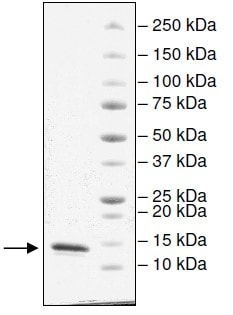 SDS-PAGE - Recombinant human CECR2 protein (Active) (ab196136)