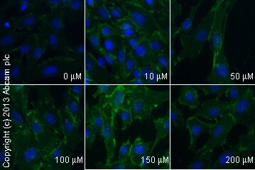 Immunocytochemistry/ Immunofluorescence - Anti-beta Catenin antibody [E247] - BSA and Azide free (ab196204)