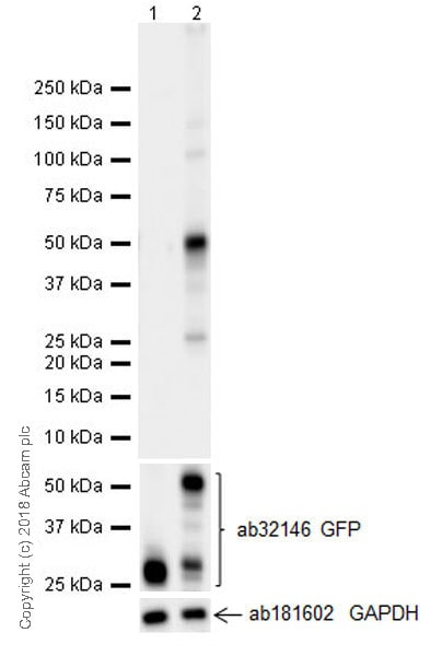 Western blot - Anti-Interferon alpha 2 antibody [EPR19074] (ab196221)