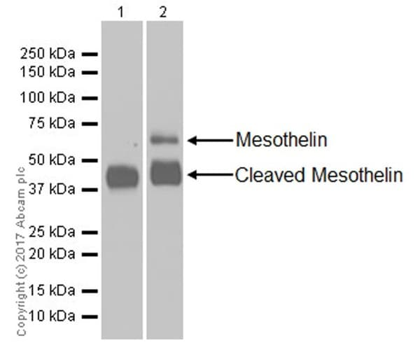 Western blot - Anti-Mesothelin antibody [EPR19025-42] (ab196235)