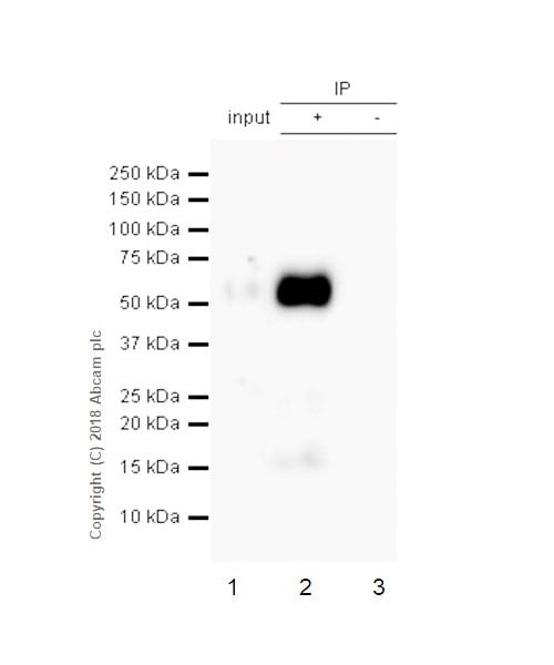 Immunoprecipitation - Anti-Tau (phospho S404) antibody [EPR2605] - BSA and Azide free (ab196364)