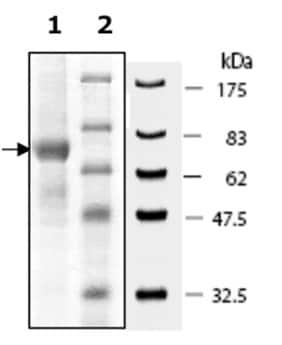 SDS-PAGE - Recombinant human PADI1 / PAD1 protein (ab196400)