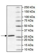 SDS-PAGE - Recombinant human Hsp90 alpha protein (Carboxyterminal end) (ab196407)