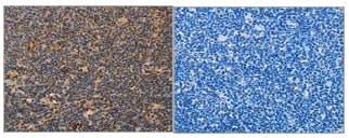 Immunohistochemistry (Formalin/PFA-fixed paraffin-embedded sections) - Anti-MPG/AAG antibody (ab196553)