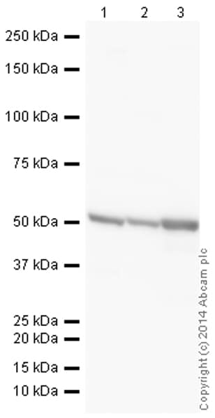 Western blot - HRP Anti-Tubulin antibody [YOL1/34] - Microtubule Marker (ab196583)