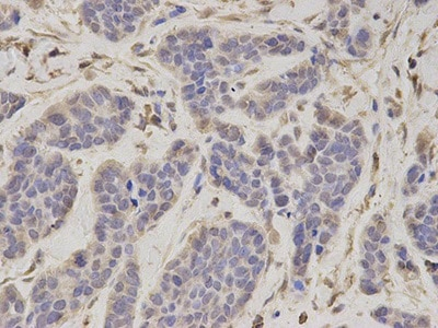 Immunohistochemistry (Formalin/PFA-fixed paraffin-embedded sections) - Anti-Tbp7  antibody (ab196589)