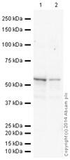 Western blot - HRP Anti-Vimentin antibody [V9] - Cytoskeleton Marker (ab196602)