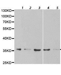 Western blot - Anti-HuR / ELAVL1 antibody (ab196626)