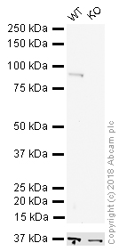 Western blot - Anti-beta Catenin antibody [12F7] (HRP) (ab196628)