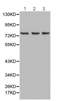 Western blot - Anti-Moesin antibody (ab196632)