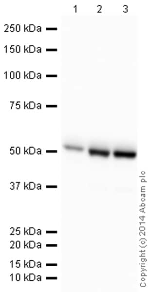 Western blot - Anti-beta III Tubulin antibody [2G10] (HRP) (ab196638)