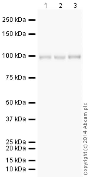 Western blot - Anti-alpha 1 Sodium Potassium ATPase antibody [464.6] (HRP) (ab196696)