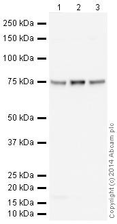 Western blot - Anti-Coilin antibody [IH10] (HRP) (ab196715)