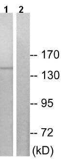 Western blot - Anti-JIP3 antibody (ab196761)