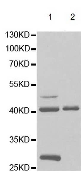 Western blot - Anti-GTF2A1 antibody (ab196770)