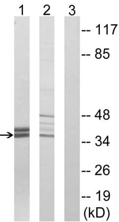 Western blot - Anti-APOL2 antibody (ab196771)