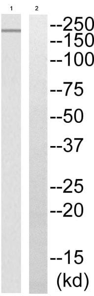 Western blot - Anti-PHF3 antibody - C-terminal (ab196810)