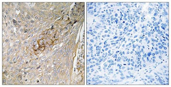 Immunohistochemistry (Formalin/PFA-fixed paraffin-embedded sections) - Anti-Slc6a6/Taut antibody (ab196821)
