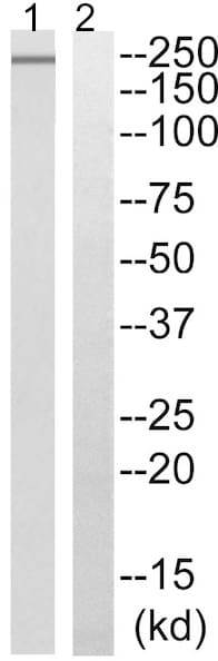 Western blot - Anti-PTP zeta/ Phosphacan antibody - N-terminal (ab196823)