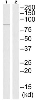 Western blot - Anti-MX2 antibody (ab196833)