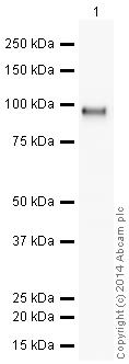 Western blot - HRP Anti-CD166 antibody [EPR2759(2)] (ab196846)