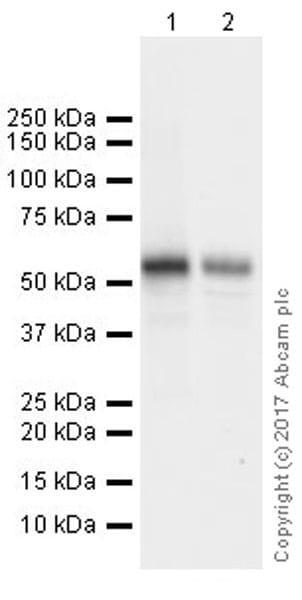 Western blot - Anti-FOXG1 antibody [EPR18987] (ab196868)