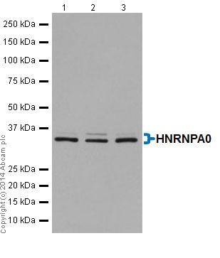 Western blot - Anti-HNRNPA0 antibody [EP16085] (ab197023)