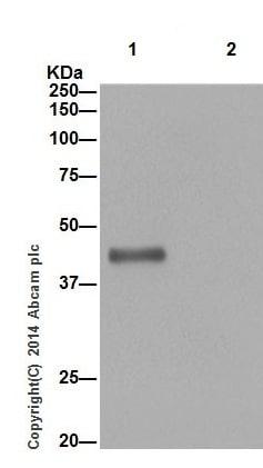 Immunoprecipitation - Anti-ASGR2 antibody [EPR16974] (ab197032)