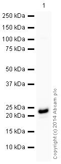 Western blot - Anti-Glutathione Peroxidase 1 antibody [EPR3312] (HRP) (ab197034)