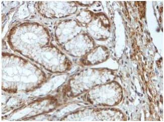 Immunohistochemistry (Formalin/PFA-fixed paraffin-embedded sections) - Anti-PNGase antibody (ab197107)