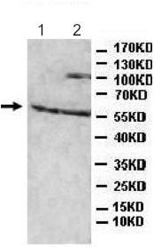 Western blot - Anti-BBS4 antibody (ab197122)