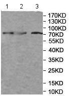 Western blot - Anti-MX1 antibody (ab197205)