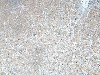 Immunohistochemistry (Formalin/PFA-fixed paraffin-embedded sections) - Anti-DHFRL1 antibody (ab197258)