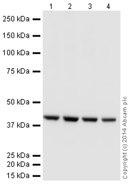 Western blot - Anti-beta Actin antibody [mAbcam 8224] - Loading Control (HRP) (ab197277)