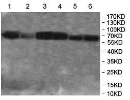 Western blot - Anti-NARS antibody (ab197326)